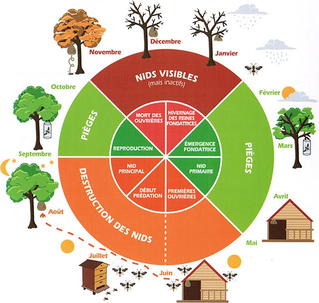 Le cycle du frelon asiatique
