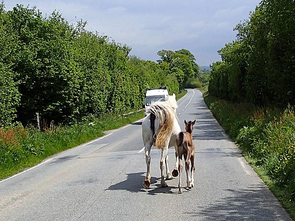 Chevaux en divagation sur la route